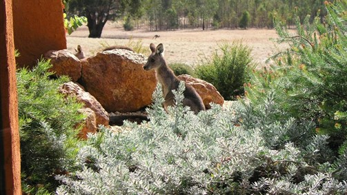Kangaroos in the Top Paddock - Victoria Tourism