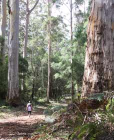 Warren River Loop Walk - Victoria Tourism