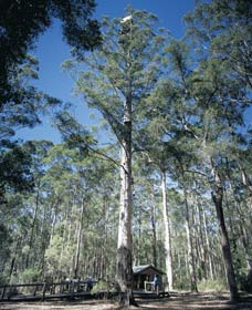 Diamond Tree Lookout Manjimup - Victoria Tourism