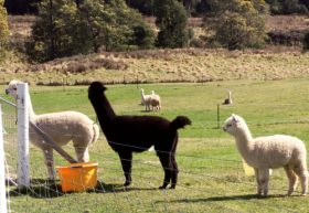 Maydena Country Cabins Accommodation  Alpaca Stud - Victoria Tourism