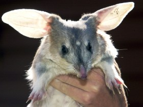 Charleville - Bilby Experience - Victoria Tourism