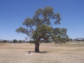 Historic Coolabah Tree - Victoria Tourism