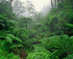 Tarra Bulga National Park - Victoria Tourism