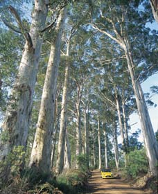 The Great Forest Trees Drive - Victoria Tourism