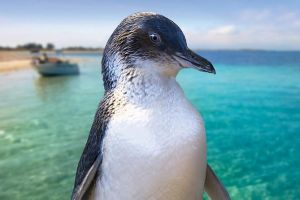 Full-Day Penguin Island  Fremantle Town - Victoria Tourism