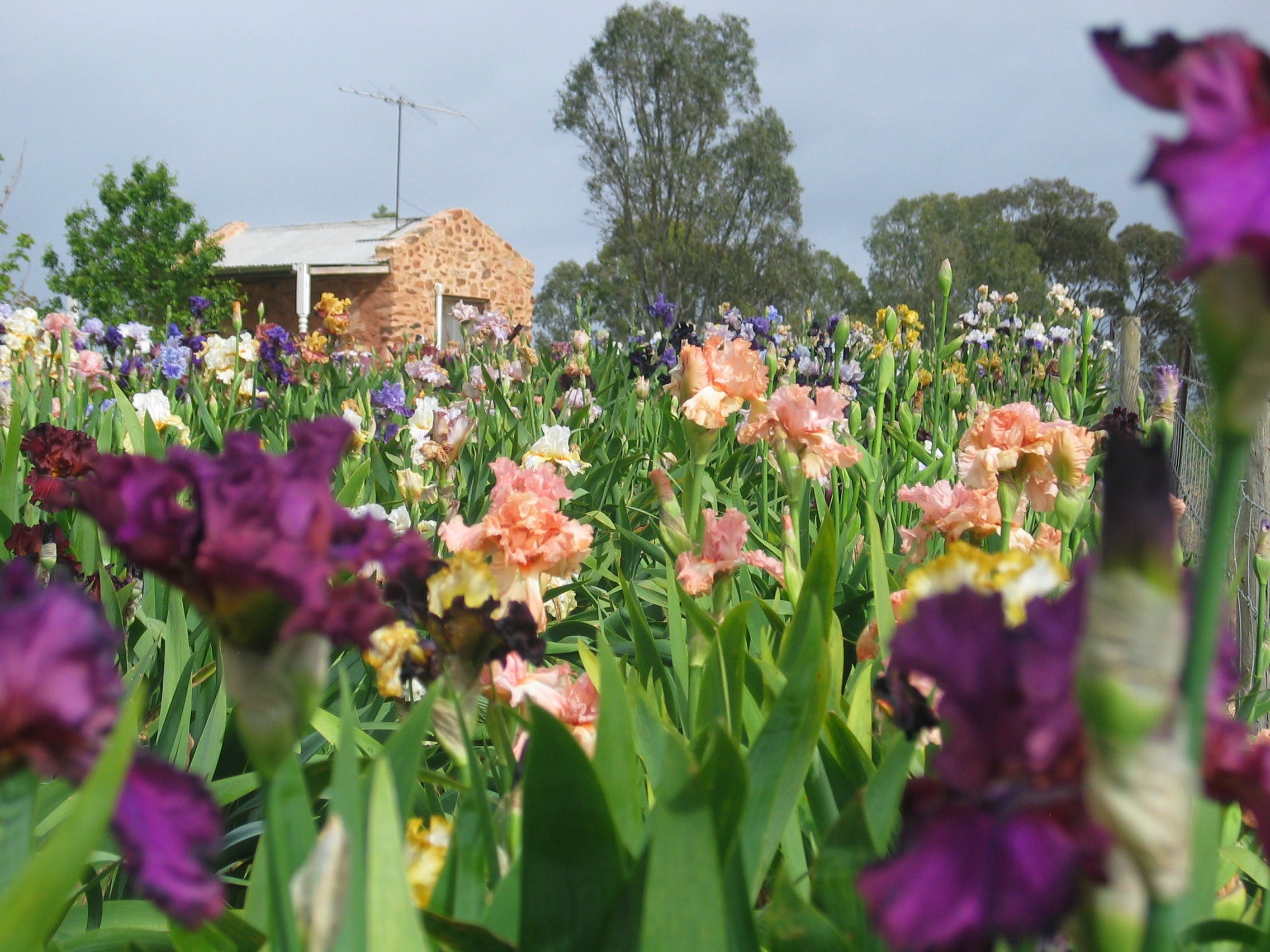 Smokin Heights Iris Display Garden - Victoria Tourism